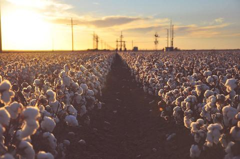Image of organic cotton farm stretched all over to the horizon